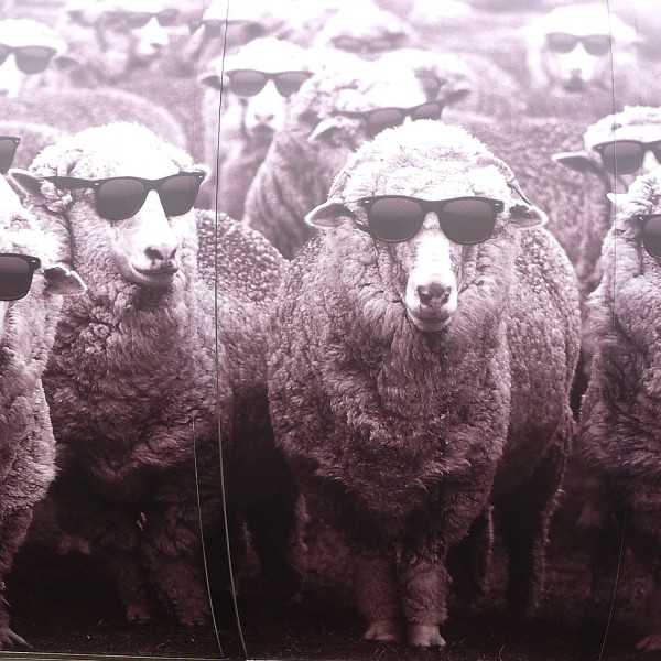 The story of Chris, the wooliest sheep ever