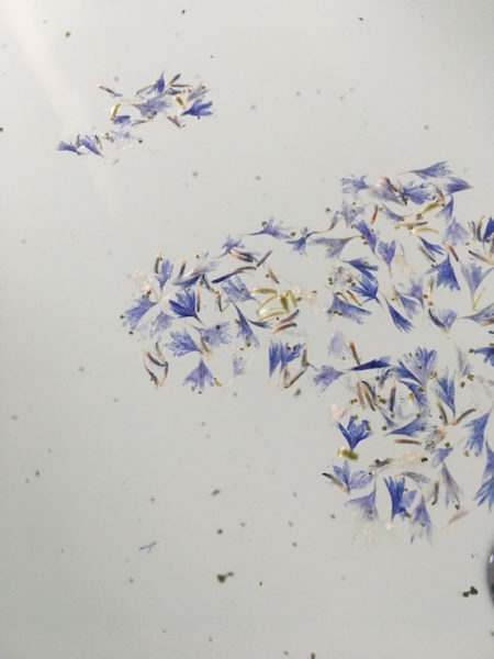 Kornblumen auf der Wasseroberfläche in meiner Badewanne mit dem Detox-Salz von Saint Clouds