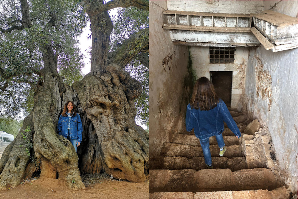 Olivenöl Produktion Olivenbaum Modepilot Apulien
